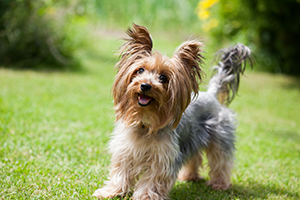 Yorkshire Terrier Dog Breeds