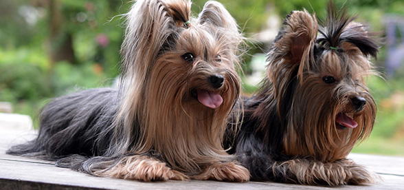 Yorkshire Terrier Exercise Personality