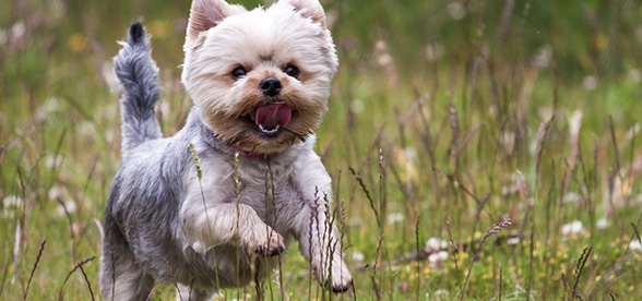 Yorkshire Terrier Facts Characteristics