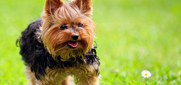Yorkshire Terrier Food Diet Feeding