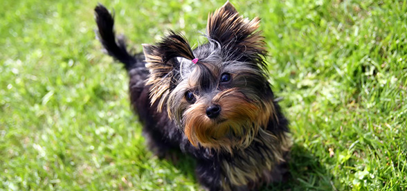 Yorkshire Terrier Temperament Training